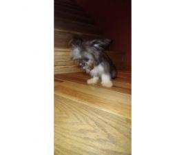 Teacup size male Yorkie puppy