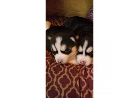 Rehoming two Siberian husky puppies