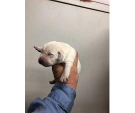 Adorable white lab puppies for sale