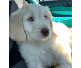 Sweet F1B Golden doodle female puppy