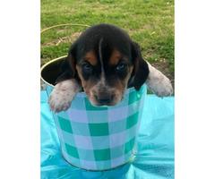 Beagle jack russel mix puppies