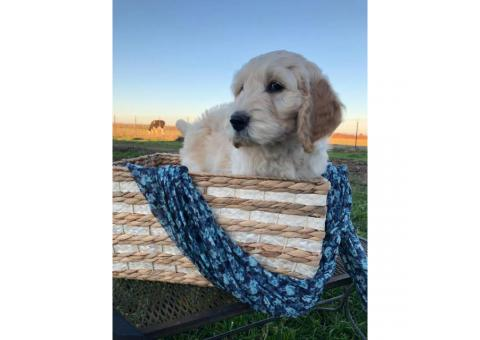 Beautiful 8 weeks old Hypoallergenic goldendoodles