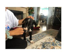 Excellent Great Dane puppy for sale
