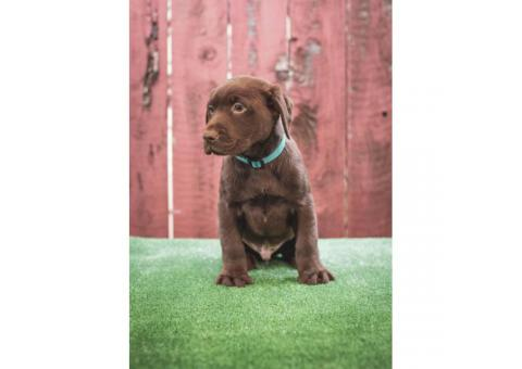Beautiful AKC registered chocolate Labrador puppies
