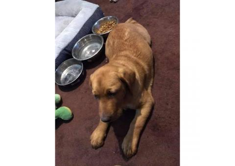 We have 1 male pure bred lab puppy 4 months old
