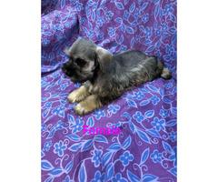 CKC reg  Miniature Schnauzer Puppies