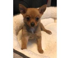Tiny  Pomchi Puppies