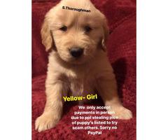 3 Golden retriever puppies left