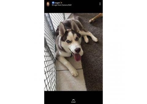 5 month old Siberian Husky puppy for sale