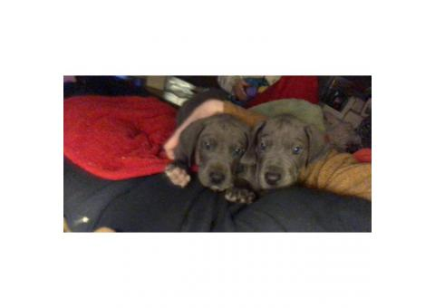 BEAUTIFUL AKC GREAT DANE PUPPIES