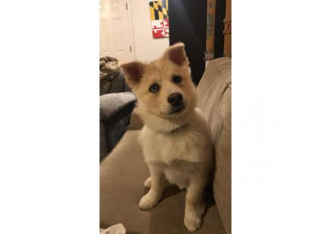 Beautiful pomsky puppy 13 weeks old