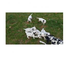 6 sweet Dalmatian puppies are ready to go to their new homes