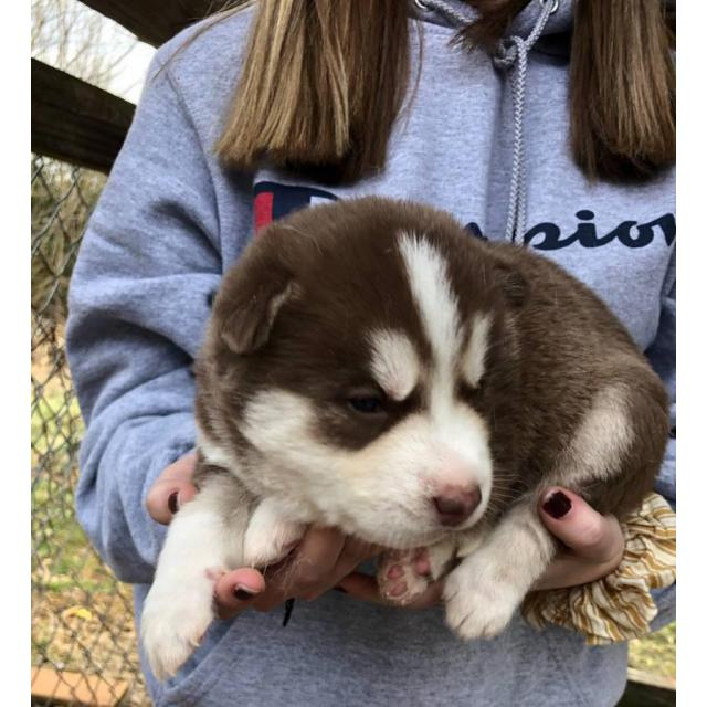 Cute Husky puppies are ready for rehoming in Lynchburg ...