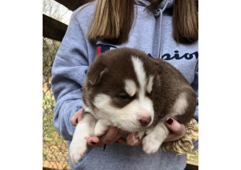 Cute Husky puppies are ready for rehoming