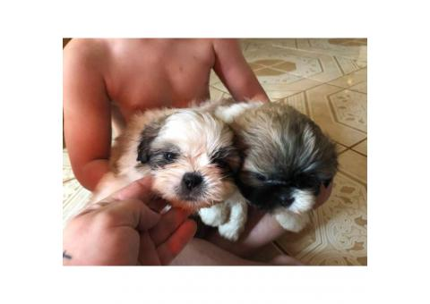 Wonderful Tiny Shih Tzu puppies