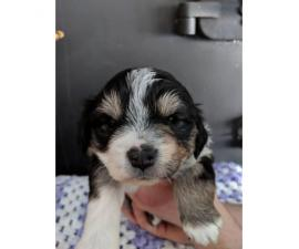 Mini Aussies pups with beautiful markings for sale