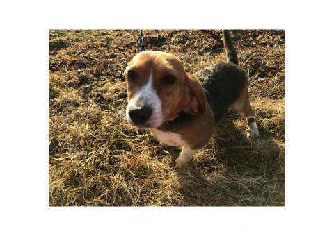 Female akc registered beagle puppy