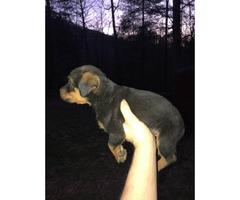 Male Rottweiler Puppy 2 months old