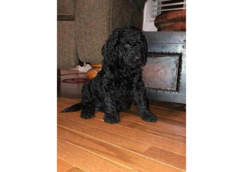 F1B Medium-sized  Goldendoodle puppy for sale