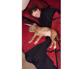 10 weeks old Red nose bully pitt puppy for sale