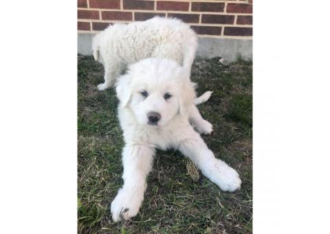 Full blooded Great Pyrenees puppies, 1 Female 3 male