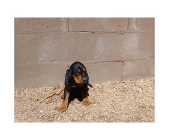 4 Blood hound puppies left
