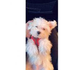 Pure bred clean & white Maltese puppy