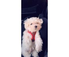 Pure bred clean & white Maltese puppy