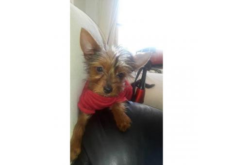Toy sized yorkie puppies for sale
