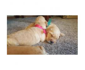 8 males and 4 females Goldendoodle puppies for sale