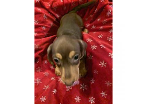 Gorgeous Dachshund puppies for sale