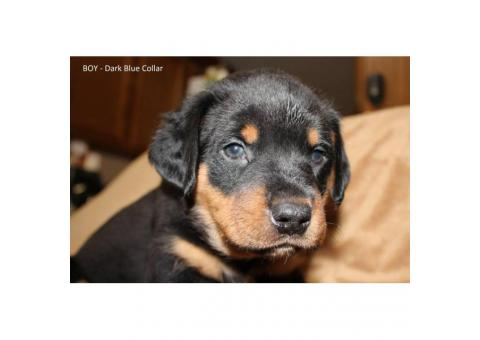 AKC Full registration German Rottweilers $800