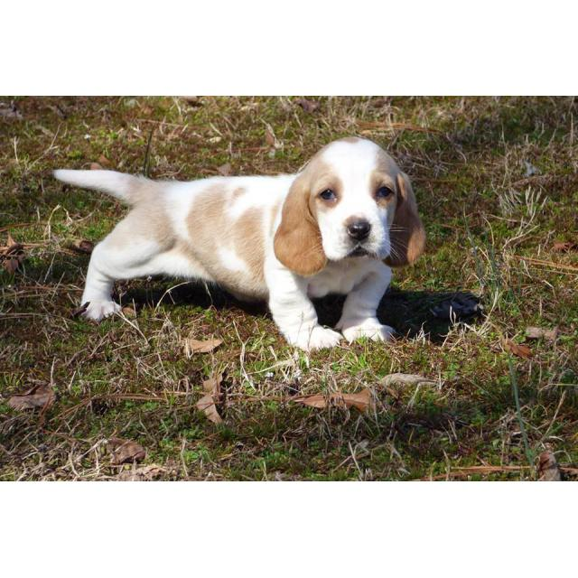4 Beautiful Basset Hound Puppies For Sale In Charlotte North Carolina Puppies For Sale Near Me