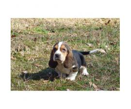 4 beautiful basset hound puppies for sale