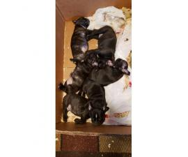 Frenchton puppies available