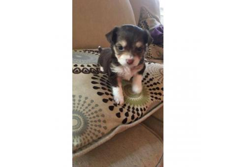 Shichi puppy for sale by owner - Puppies for Sale Near Me
