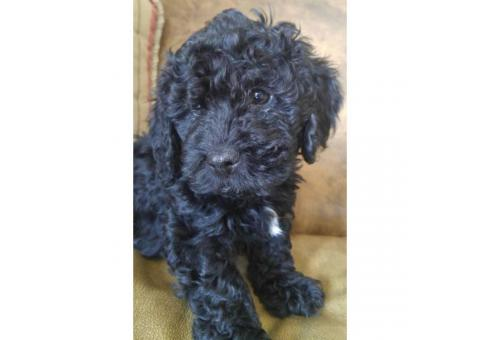 2 adorable males mini Bernedoodle puppies available for sale