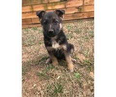 9 weeks old Full blooded german shepherd pups for sale