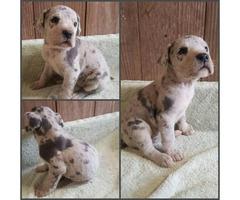 Beautiful 7 week old litter of Great Dane puppies