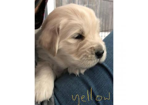 Golden Retriever Puppies 3 males and 1 female