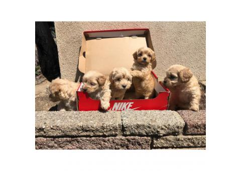 Gorgeous Maltipoo babies for a great price