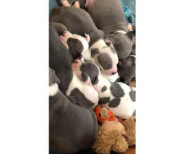 Purebred American Staffordshire Terrier Puppies