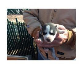 3 AKC siberian husky puppies for sale