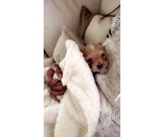 Cockapoo puppies almost 9 weeks