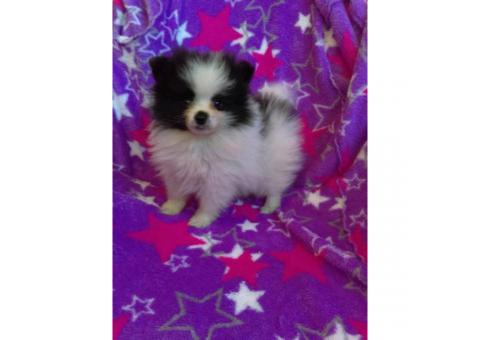 Toy breed pomeranian puppies $2500