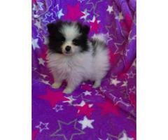 Toy breed pomeranian puppies $2500