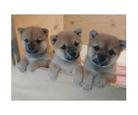 2 FEMALE Shiba Inu puppies for re-homing