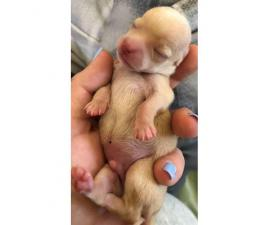Two male chihuahua puppies to go on 5/9/19