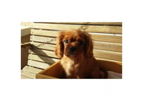 14 weekd old Cavalier King Charles Spaniel Puppy