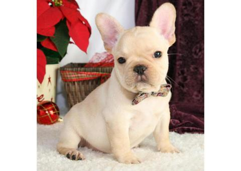 Affordable French Bulldog Puppies for Sale Near Ne